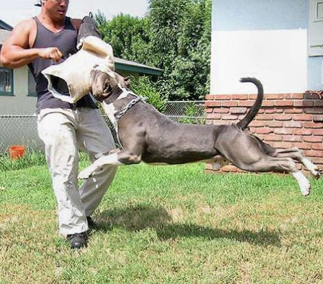bite-sleeve-for-pitbull-training-working_lrg.jpg