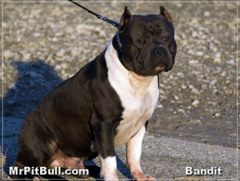 black-nose-razors-edge-pitbull.jpg